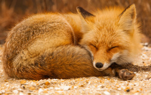 Foxes_Ginger_color_Sleep_457362_2880x1800